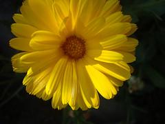 Yellowyum