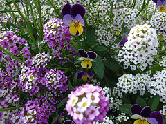 Blossomssmall