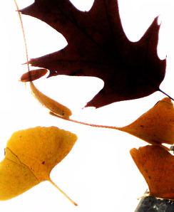 Smallermagpie leaves