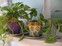 Pothos plant family
