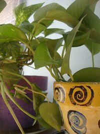 Cedgoldenpothos