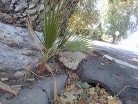 Volunteer palm