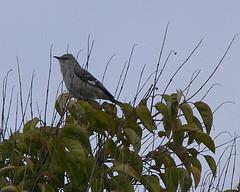 Scintillabirdmockingbird