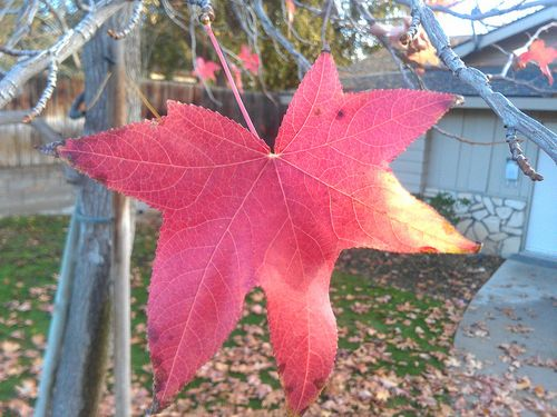 Leaves Change Color in December on Alta Vista Drive