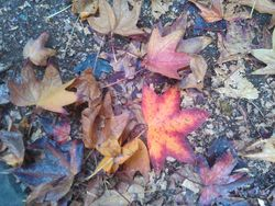 Lovely red & yellow leaves call out from a parking lot floor