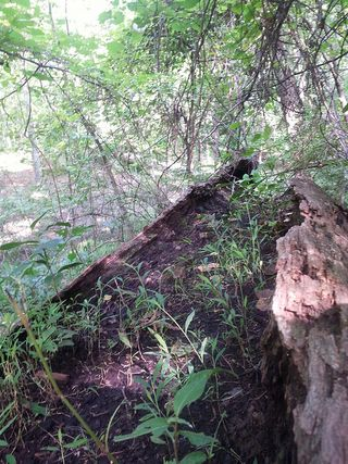 You just don't see this in the desert I live in here in California: seedings growing from the hollow of a fallen tree......