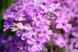 Purple (appropriate, yes?) prairie phlox