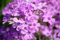 Purple (appropriate, yes?) prairie phlox