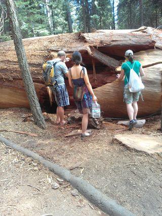 Sliver of a fallen sequoia