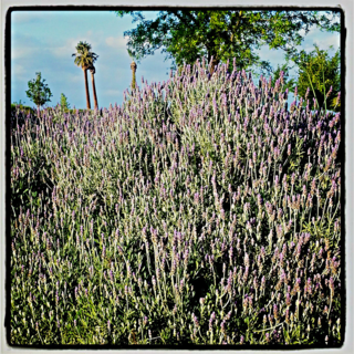 Lush lavendar at the Panorama Bluffs