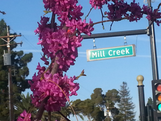 Purple flowers grow on a tree across the street from Mill Creek Park in Bakersfield