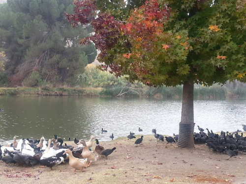 The ducks enjoyed this five pound bag of wild bird seed I put in piles under the autumnal tree.