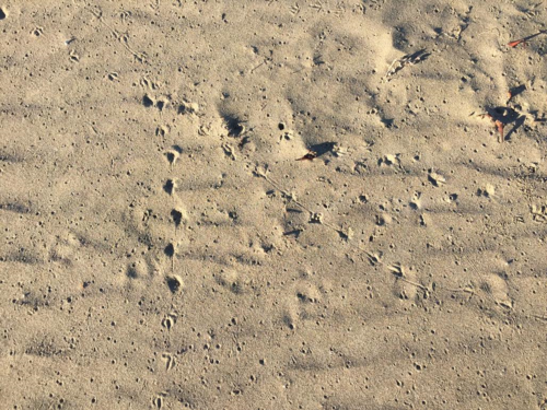 Footprints from the Snowy Plover, at least they may be. :-) I am not a birder but I would love to be!