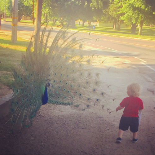 Yes, he got this close to the peacock. I wish the peacock had been in better light but wow, moments like this may never come ever again.